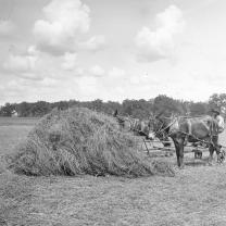 A stack of hemp that looks like straw and some mules in old-fashioned black and white photo