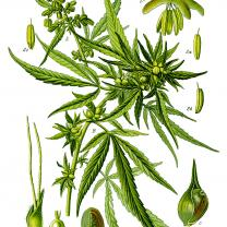 "Illustration Cannabis sativa clean"" by Prof. Dr. Otto Wilhelm Thomé"